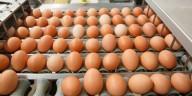 Indústria de ovos - conheça tudo que acontece com as galinhas antes de o ovo chegar até sua mesa