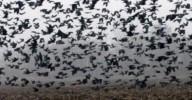 Bandos enormes de corvos e mosquitos gigantes invadem o céu e as cidades em torno da zona zero do coronavírus na China