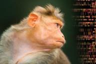 Chineses colocaram um gene da inteligência humana em um macaco. Cientistas estão preocupados