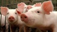 A realidade cruel da criação de porcos