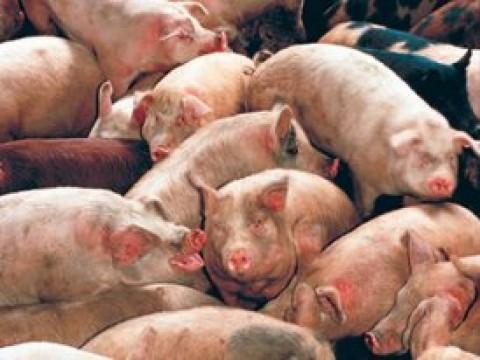 Porcos amontoados numa suinicultura.