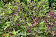 Manjericão Santo: a planta que remove o Flúor da água