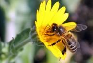 Extinção das abelhas provocaria extinção dos humanos em 4 anos