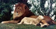 'O LOBO CONVIVERÁ COM O CORDEIRO...' (Is. 11, 6)  Os sinais da vindoura total harmonia entre animais de diferentes espécies