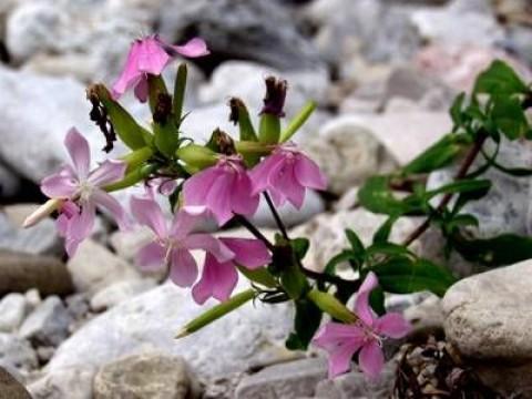 Flores da saponaria.