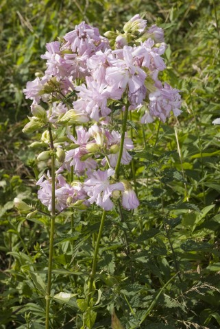 Saponaria officinalis.
