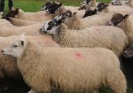 Cientistas criam primeiros híbridos humanos-ovinos preparando o caminho para que órgãos sejam cultivados em animais para transplante