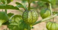 Camapu: a planta que ajuda na recuperação de Alzheimer e Parkinson