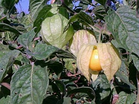Physalis pulbescens.