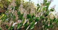 Canela-de-velho, uma planta milagrosa contra artrose, artrite e dores em geral