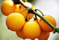 Bacupari, a planta que combate o câncer de próstata e de mama