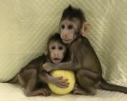 Cientistas quebram barreira técnica que impedia clonagem de espécies primatas. Método também gera a possibilidade de ser feita clonagem humana.