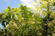 Ora-pro-nobis: a planta comestível que tem 25% de proteína