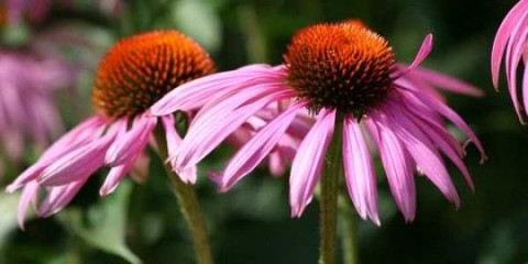 Echinacea purpurea.