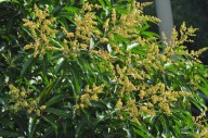 Mangueira, em flor.