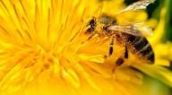 Dente-de-leão: uma ótima fonte de alimento para abelhas e outros polinizadores