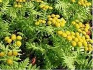 Cientistas descobrem planta medicinal que impede replicação do coronavírus SARS-CoV-2: Artemisia annua