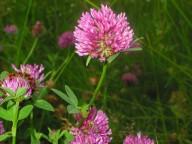 Trifolium Pratense L