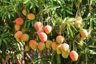 Frutos da mangueira, prontos para colheita.